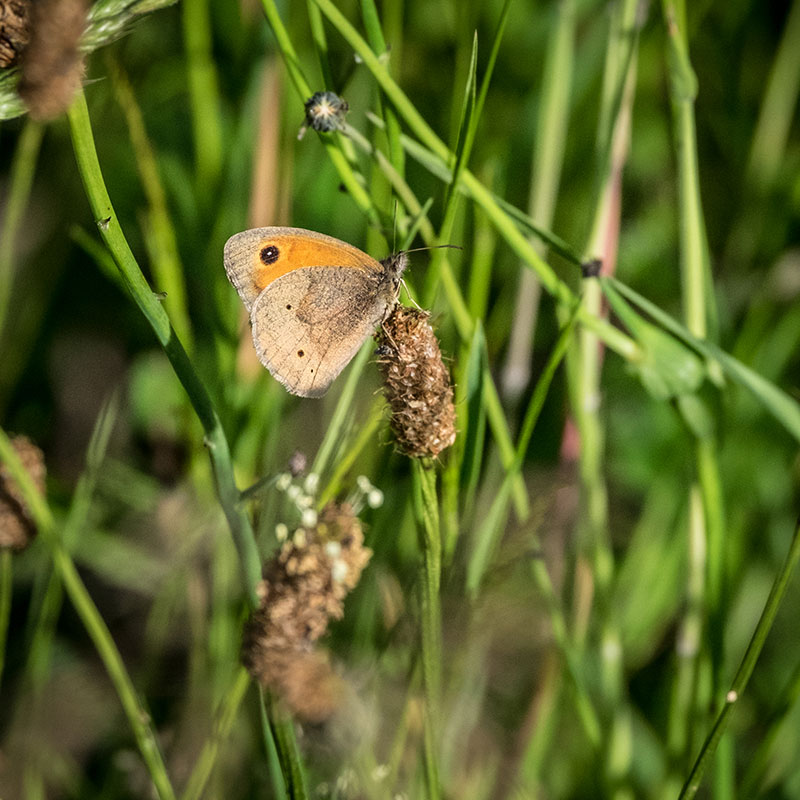 A butterfly on grass on a  The Summer Berry Company farm
