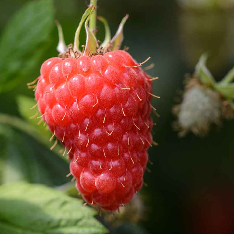 Photograph of a raspberry grown by Hall Hunter