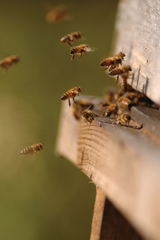 Bees landing in their hive located on The Summer Berry Company's Colworth Farm