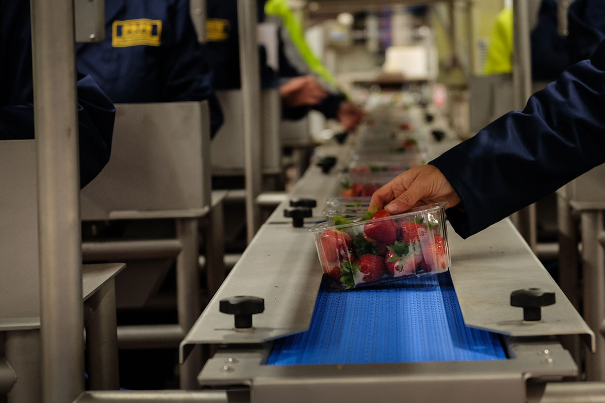 A The Summer Berry Company employee placing a punnet of succulent strawberries on a conveyor belt