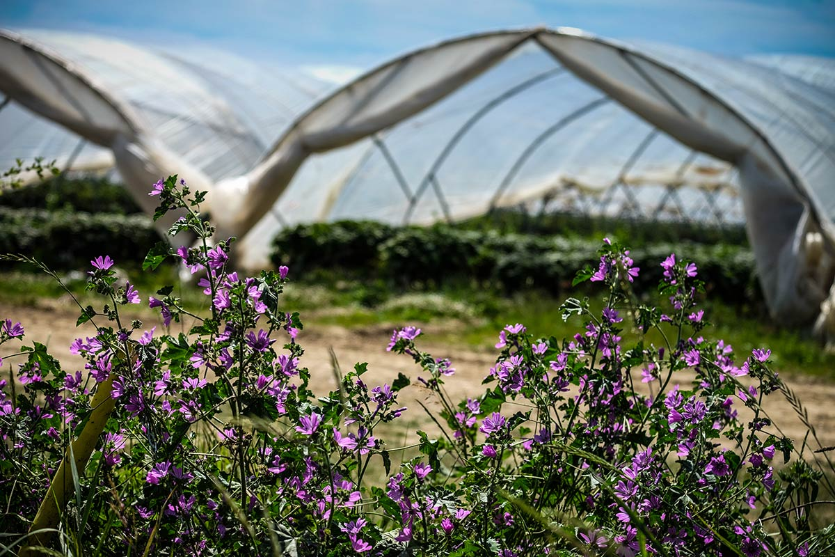 Wild flowers with The Summer Berry Company polytunnels in the background