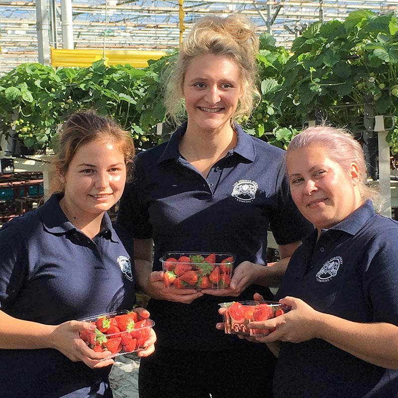 A female The Summer Berry Company employee picking raspberries on the Colworth Farm