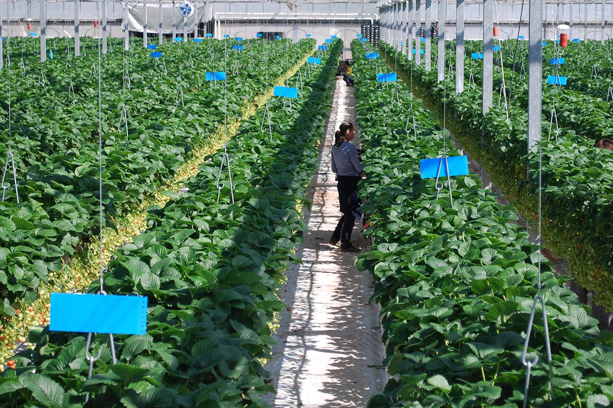 The Summer Berry Company's Donaldsons Nursery full with strawberry plants being picked