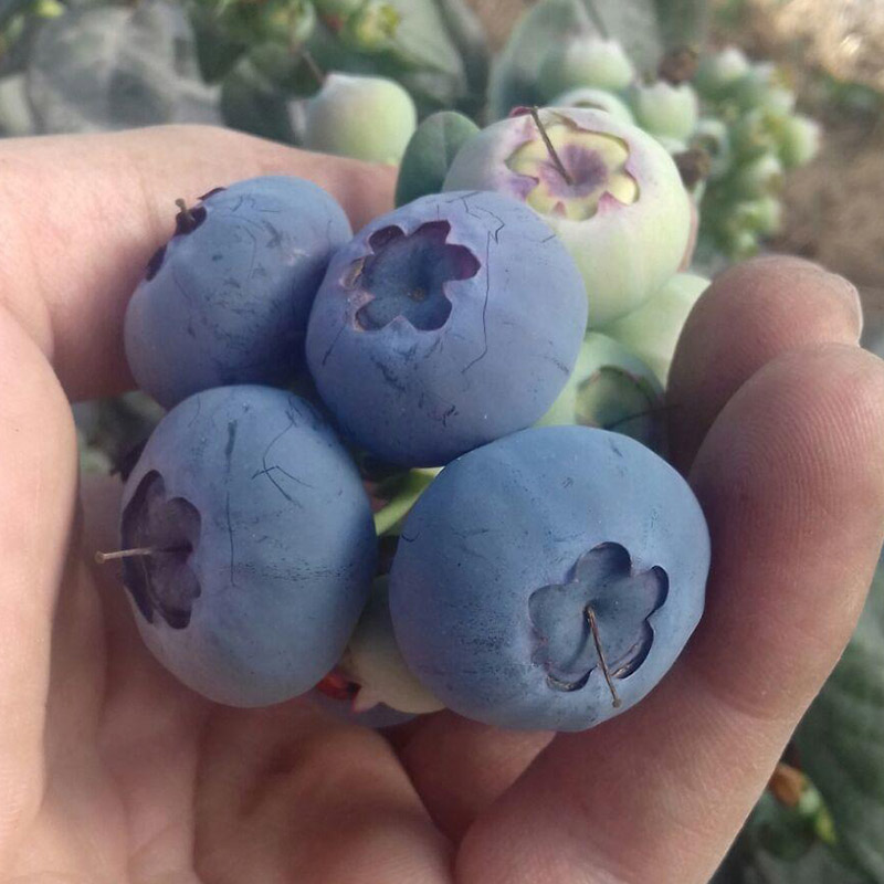 Blueberries grown on The Summer Berry Company's Almeidans Farm, Portugal