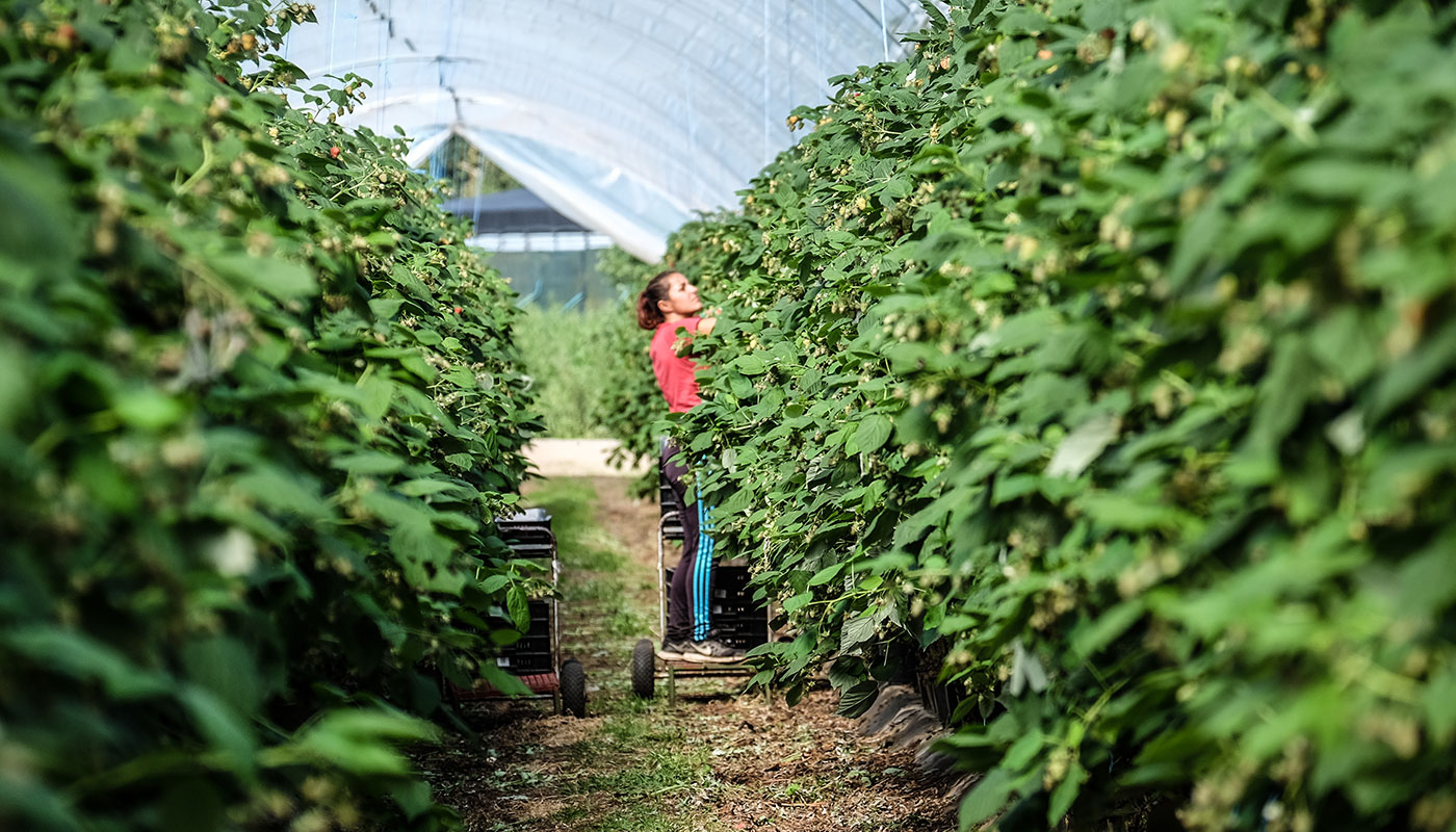 A female The Summer Berry Company employee picking raspberries