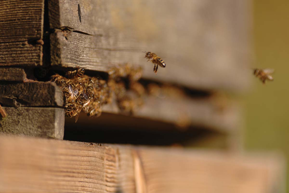 A bumble bee leaving a beehive specially installed on one of The Summer Berry Company's farms